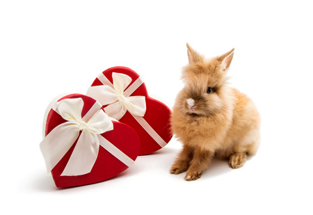 Rabbit with gift box isolated on white background