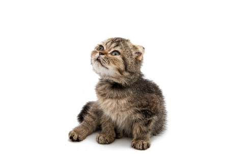 Gray kitten on a white background Stock Photo