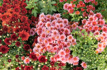 Chrysanthemums growing on a flower bed