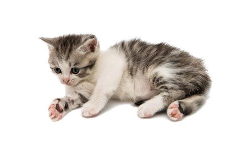 gray cat: Fluffy kitten on white background