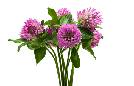 trifolium: clover flowers on white background