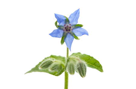 borage flower on a white background