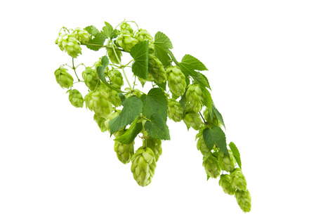 brewery: branches of hops with cones on white background