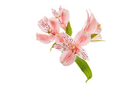 Alstroemeria on a white background Stock Photo