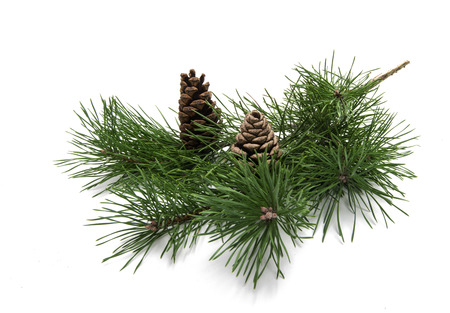 branch of pine with cones isolated on white background