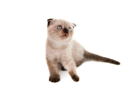 lop eared: beautiful lop-eared kitten on white background Stock Photo