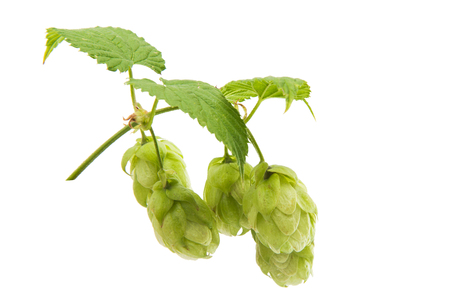 branch with cones hops isolated on white background