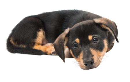 puppy dachshund isolated on white background