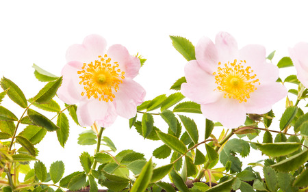 roze: rosehip branch with flowers isolated on white background