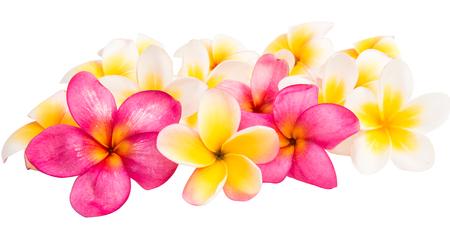 tahitian: frangipani flower isolated white background