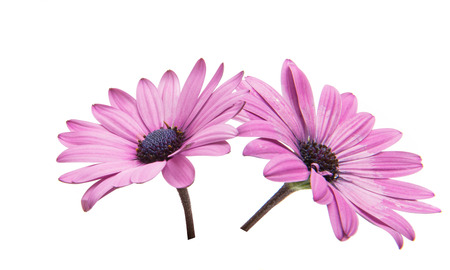 Violet Pink Osteosperumum Flower Daisy Isolated on White Background. Macro Closeup Stock Photo