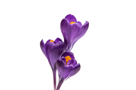 spring flower of lilac crocus on a white background