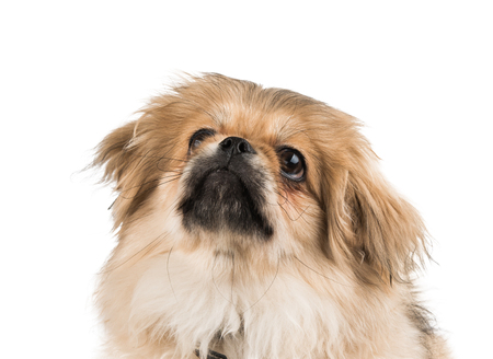 beautiful pekinese isolated on white background