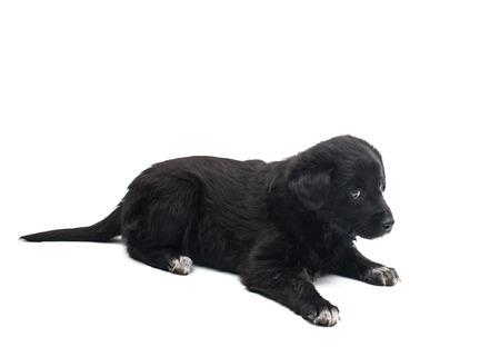black dog isolated on white background Stock Photo