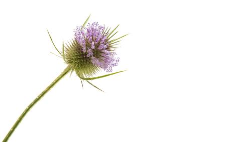 burdock isolated on white background