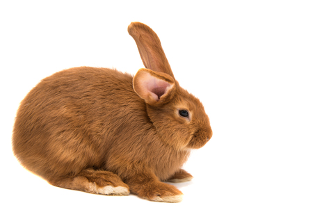 red-haired rabbit on white background