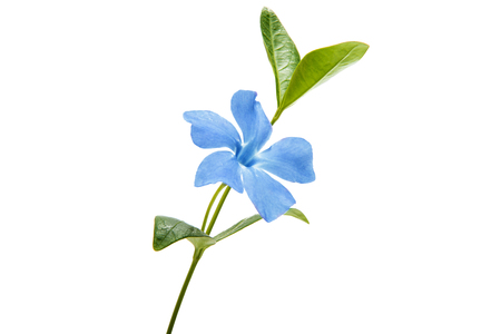 blue periwinkle isolated on white background Imagens - 89765055