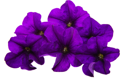 violet flower of petunia isolated on white background. Stock Photo