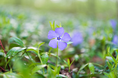 vinca flowers growing in the forest