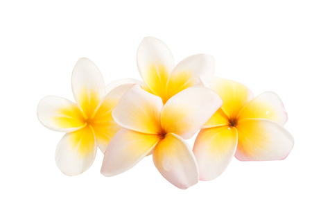 frangipani (plumeria) flower isolated on white background