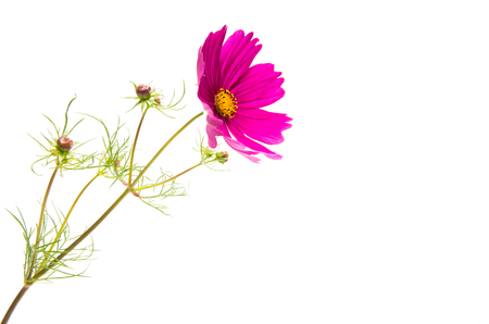 a flower of a cosmea isolated on a white background