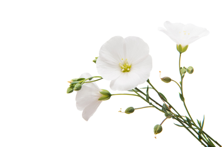 white flax flowers isolated on white background