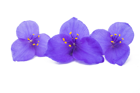 Tradescantia flower isolated on white background