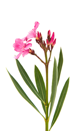 pink oleander flowers isolated on white background Фото со стока