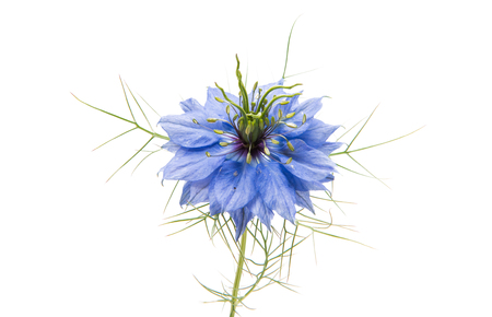 nigella flowers isolated on a white background