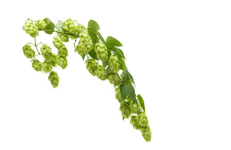 liana hops with cones isolated on white background