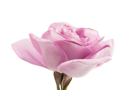 lilac rose isolated on white background Stock Photo