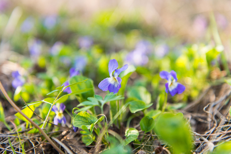 meadow violets growing in a meadow in spring