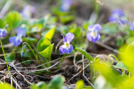 meadow violets growing in a meadow in spring