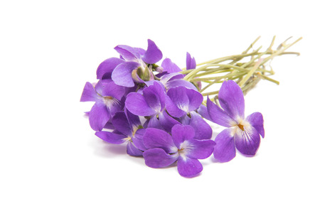 flowers of a forest violet isolated on a white background Imagens