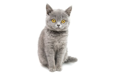 gray beautiful kitten isolated on white background
