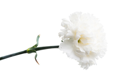 white carnation isolated on white background