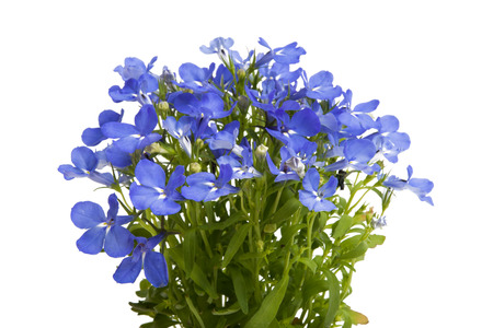 Lobelia blue isolated on white background