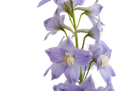 delphinium flowers isolated on white background