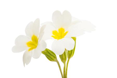 Primrose flowers isolated on white background Stock Photo
