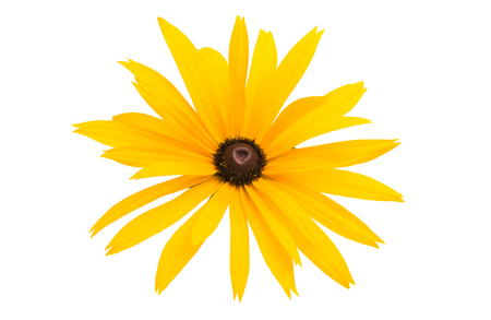 Rudbeckia flowers isolated on white background