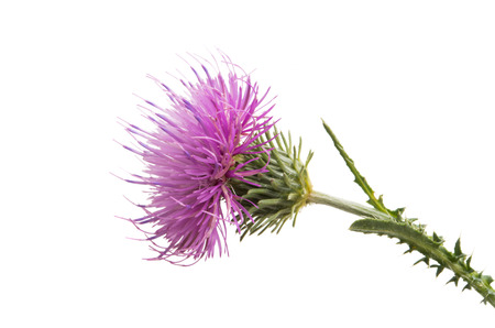 Thistle flower isolated on white background