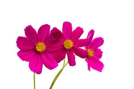 red cosmos flowers isolated on white background