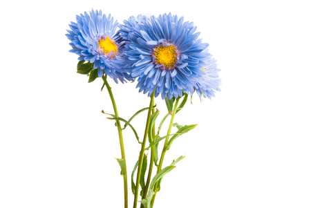 blue aster isolated on white background 스톡 콘텐츠