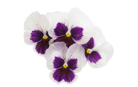 pansies isolated on white background Stock Photo