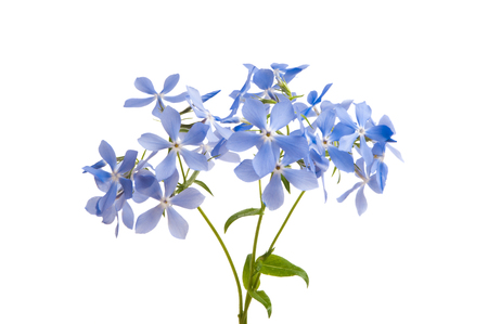 vinca flowers isolated on white background