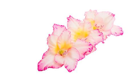 gladiolus flowers isolated on white background