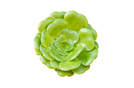 flower succulents isolated on white background