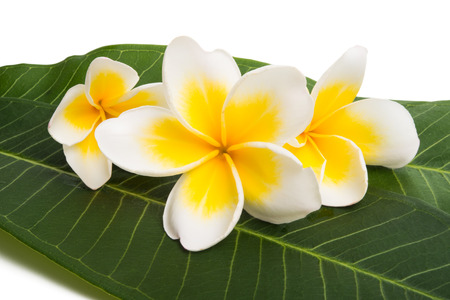 frangipani flowers with leaves on a white background