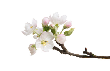 branch with flowers of apple isolated on white background