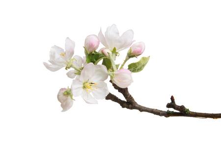 Branche avec des fleurs de pomme isolé sur fond blanc Banque d'images